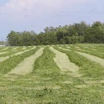 Fresh cut hay swaths